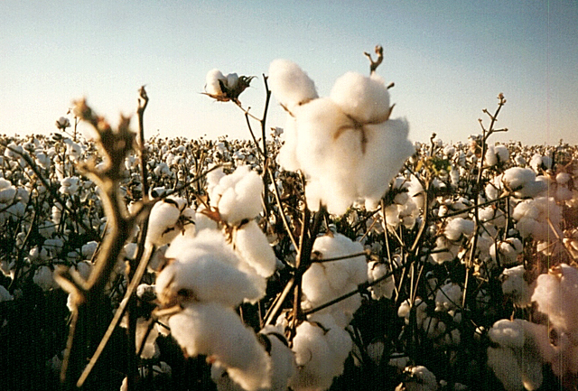 Photograph of American grown Organic cotton courtesy of Earth-Ware
